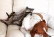 Как содержать енота в домашних условиях